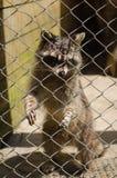 逗人喜爱的浣熊在动物园里 库存图片
