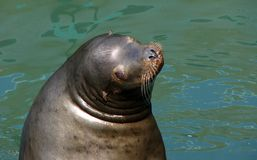 逗人喜爱的海狮 免版税库存图片