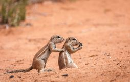 逗人喜爱的海角地松鼠家庭 图库摄影