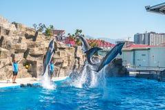 逗人喜爱的海豚在讲话中在dolphinarium,巴统, Geo 库存图片
