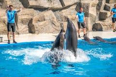 逗人喜爱的海豚在讲话中在dolphinarium,巴统, Geo 免版税图库摄影
