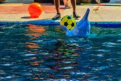 逗人喜爱的海豚打球,并且跳舞在游泳的p显示 图库摄影
