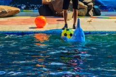 逗人喜爱的海豚打球,并且跳舞在游泳的p显示 免版税库存照片