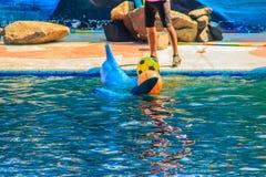 逗人喜爱的海豚打球,并且跳舞在游泳的p显示 库存照片