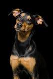 逗人喜爱的混合品种狗画象在黑背景的 库存照片