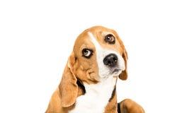 逗人喜爱的滑稽的小猎犬狗画象  图库摄影