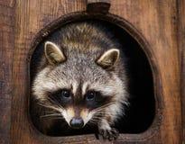 逗人喜爱的滑稽的浣熊 免版税库存照片