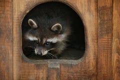 逗人喜爱的滑稽的浣熊 免版税库存图片
