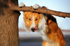 逗人喜爱的滑稽的狗stucks她的舌头 免版税图库摄影