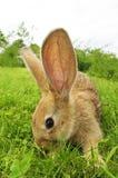 逗人喜爱的灰色兔子 免版税图库摄影