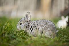 逗人喜爱的灰色兔宝宝 免版税图库摄影