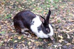 逗人喜爱的灰色和白色毛皮兔子国内开会和睡眠在地面 图库摄影