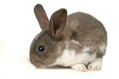逗人喜爱的灰色宠物兔子 库存图片