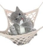 逗人喜爱的灰色小猫吮在吊床顶视图的牛奶瓶 库存照片