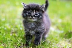 逗人喜爱的灰色小猫 免版税库存照片