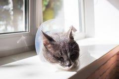 逗人喜爱的灰色猫患者 免版税图库摄影