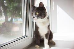 逗人喜爱的灰色猫患者 图库摄影