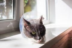 逗人喜爱的灰色猫患者 库存图片
