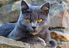 逗人喜爱的灰色猫 库存图片