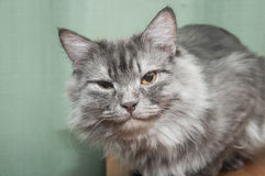 逗人喜爱的灰色猫 库存照片