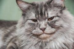 逗人喜爱的灰色猫 免版税库存图片