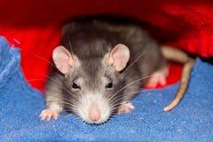 逗人喜爱的灰色鼠小与大掩藏在地毯下的耳朵长的髭坐观看与困眼睛 库存图片
