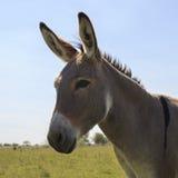 逗人喜爱的灰色驴画象  库存照片