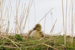 逗人喜爱的灰雁幼鹅 免版税库存图片
