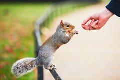 逗人喜爱的灰鼠在公园 免版税库存照片