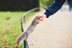 逗人喜爱的灰鼠在公园 库存图片