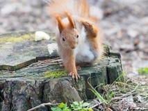 逗人喜爱的灰鼠在树桩抓自己在公园 库存图片