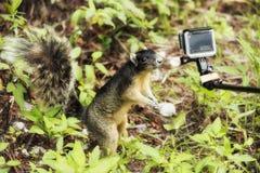 逗人喜爱的灰鼠他的对小照相机的手和做selfie 免版税库存照片