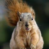 逗人喜爱的灰鼠 免版税图库摄影