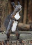 逗人喜爱的灰鼠 图库摄影
