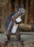 逗人喜爱的灰鼠 库存图片