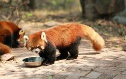 逗人喜爱的熊猫红色 免版税图库摄影