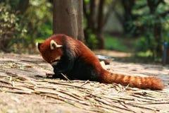 逗人喜爱的熊猫红色 免版税库存图片