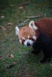 逗人喜爱的熊猫红色 免版税库存照片
