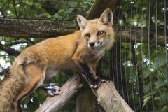 逗人喜爱的狐狸 免版税库存照片