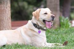 逗人喜爱的狗休息在公园的拉布拉多 免版税图库摄影