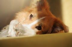逗人喜爱的狗博德牧羊犬放松 免版税库存图片