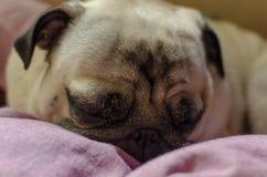 逗人喜爱的狗品种哈巴狗 寻找睡觉的一个舒适的地方 免版税图库摄影