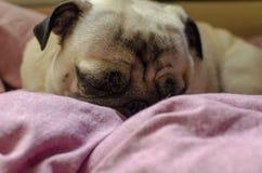 逗人喜爱的狗品种哈巴狗 寻找睡觉的一个舒适的地方 免版税库存照片