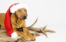 逗人喜爱的狗圣诞老人 库存图片