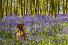 逗人喜爱的狗在会开蓝色钟形花的草森林地 库存照片