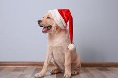 逗人喜爱的狗在圣诞老人帽子开会 图库摄影