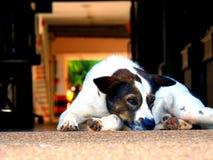 逗人喜爱的狗在房子里 免版税库存图片