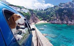 逗人喜爱的狗在汽车旅行到海 免版税库存照片
