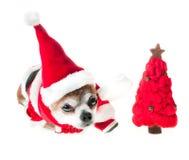 逗人喜爱的狗奇瓦瓦狗在有红色圣诞树的圣诞老人服装在被隔绝的白色背景说谎 农历新年2018肯定 免版税图库摄影
