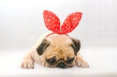 逗人喜爱的狗小狗哈巴狗的特写镜头面孔以小兔耳朵棉绒的睡眠基于在白色背景中 免版税库存照片